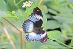 Blaues Diadem, Hypolimnas salmacis