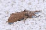 Buchen-Streckfuß, Calliteara pudibunda