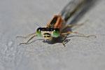 Grosse Pechlibelle, Ischnura elegans, Farbform rufescens