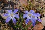 Sternhyazinthe, Chionodoxa luciliae