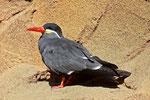 Inka-Seeschwalbe, männl.