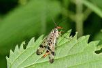 Gemeine Skorpionsfliege, weibl., Panorpa communis