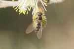 Goldhalsschwebfliege, weibl., Meliscaeva auricollis