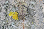 Rotbeinige Baumwanze, Larve, L 5, Pentatoma rufipes