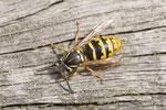 Gemeine Wespe, Königin, Vespula vulgaris