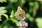 Kaisermantel, weibl., Argynnis paphia