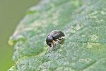 Riedgrasglanzkäfer, Brachypterus urticae