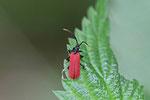 Kleiner Rotdeckenkäfer, Platycis minutus