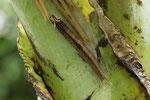 Raupe vom Bananenfalter, Caligo sp.