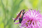 Widderchen, Zygaena purpuralis/minos