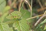 Punktierte Zartschrecke, männl., Leptophyes punctatissima