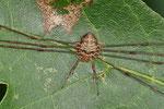 Schneider, Dicranopalpus ramosus