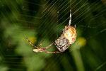Gartenkreuzspinne, Araneus diadematus