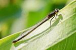 Große Pechlibelle, Ischnura elegans