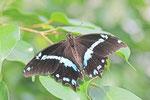 Blaurandiger Schwalbenschawnz, Papilio nireus