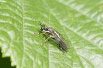 Gemeine Habichtsfliege, Dioctria hyalipennis