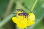 Gemeine Goldschwebfliege, Ferdinandea cuprea