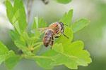 Honigbiene, Apis mellifera