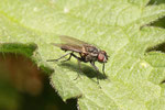 Blumenfliege, männl., Anthomyiidae sp.