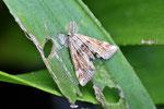 Wasserlinsen-Zünsler, Cataclysata lemnata