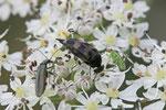 Stachelkäfer, Variimorda villosa