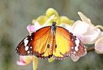 Gewöhnlicher Tiger, Danaus chrysippus