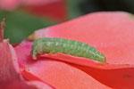 Raupe der Kohleule, Mamestra brassicae