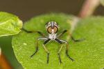 Raubfliege, Asilidae sp.