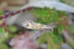Zahnflügelfalter, Epermenia pontificella