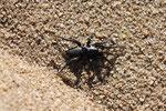 Glattbauchspinne, Zelotes sp.
