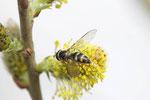 Goldhalsschwebfliege, Meliscaeva auricollis