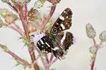 Landkärtchen, Sommergeneration, Araschnia levana f. prorsa