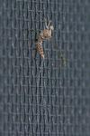 Fliegenhaft, Cloeon dipterum