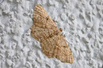 Rauten - Rindenspanner, Peribatodes rhomboidaria