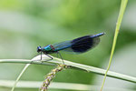 Gebänderte Prachtlibelle männl., Calopteryx splendens