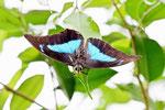 Blaugestreifter Schwalbenschwanz, Prepona demophon, Mexiko, Südamerika