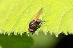 Faulfliege, Minettia longipennis