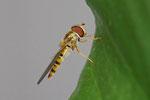 Hainschwebfliege, Episyrphus balteatus