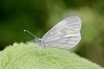 Tintenfleck - Weissling, Leptidea sp.