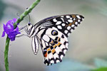 Zitrusschwalbenschwanz, Unterseite, Papilio demoleus