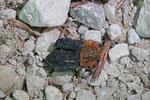 Rothalsige Silphe, Oiceoptoma thoracicum