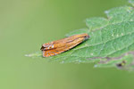 Wickler, Lathronympha strigana