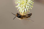 Sandbiene, Andrena sp.
