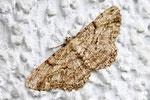 Rauten-Rindenspanner, Peribatodes rhomboidaria