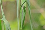 Hufeisen-Azurjungfer, Coenagrion puella