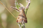 Olivbrauner Zünsler, Pyrausta despicata