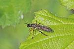 Gemeine Habichtsfliege, Dioctria cf. hyalipennis
