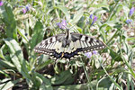 Schwalbenschwanz, Papilio machaon