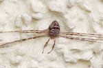 Schneider, männl., Dicranopalpus ramosus