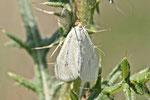Möhrenzünsler, Sitochroa palealis
